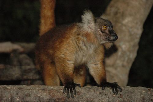 Lemur-14