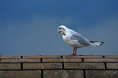 Seagull make up (Hkan Dahlstrm) Tags: sky bird make up pier skne sweden seagull gull himmel ciel cielo sverige lucht mwe gaviotas gabbiano mouette 2007 helsingborg skane zeemeeuw allnicethink