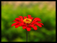 FlowerPower (Midhun Manmadhan) Tags: red flower nature yellow kerala