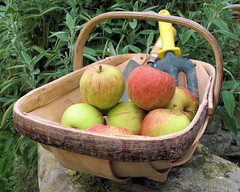 apples in trug