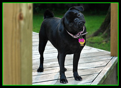 Little Lola (dog ma) Tags: dog pet cute animal lola adorable pug dogma petportrait flickerdiamond photofaceoffwinner photofaceoffplatinum pfogold pfohiddengem