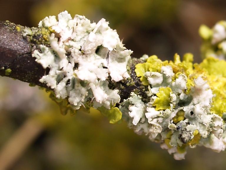 Líquens   Fauna i flora