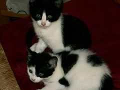 The Terrible Twosome (Whiskers and Whispers (The Future is Feline)) Tags: cats cute cat furry kitten feline adorable kitty fluffy kittens meow awww cuties pebblesbambam