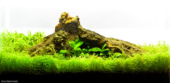 2.5G Aquascape (guitar fish) Tags: aquarium aquascape plantedtank aquaticplant 25g