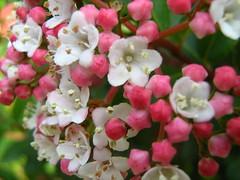 Viburnum tinus (ekenitr) Tags: pink oktober plant flower tree fleur rose garden nederland rosa boom tuin shrub blume roze bloem struik viburnumtinus ekenitr
