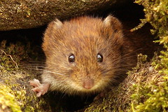 He's back! (Roger B.) Tags: cute mammal rodent cuteness vole 50200mm agden zd firsttheearth goldwildlife myodesglareolus