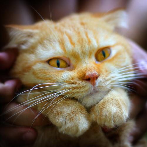 Gato con Botas real gordo