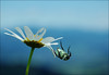Revenge of the marguerite (Mr.Bones) Tags: blue sky flower macro bug topf50 beetle photooftheday shallowdof 123f50 aplusphoto nikkor1855mmg 10july2007