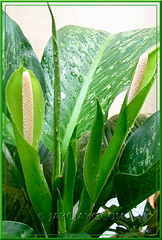 Dieffenbachia bowmannii Carriere (Dumb Cane, Spotted Dumbcane, Leopard Lily ), July 2007 in our garden!