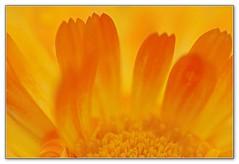 Marigold (Devotional Fine Art Photography | Lars Basinski) Tags: macro petals petal yellowflower marigold calendula unison ringe