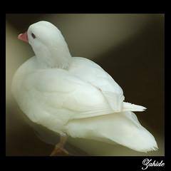 duru.. / pure.. (daade) Tags: white turkey zoo trkiye turkiye pure beyaz izmir rdek gvercin turkei duru blueribbonwinner zahide fotorafkraathanesi infinestyle sln