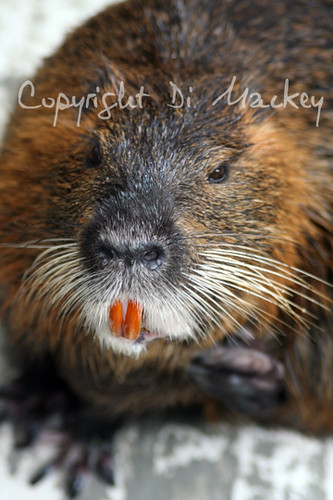 A Beaver's Teeth about a Beavers teeth-