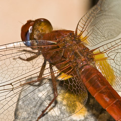 Dragonfly mechanics (macropoulos) Tags: macro nature animal scarlet insect 500v20f dragonflies dragonfly quality insects 500v50f 1000v100f topf100 animalia arthropoda insecte insectes darter libellule odonata libellulidae insecta anisoptera naturesfinest 500x500 erythraea hexapoda libellules odonate canonspeedlite430ex odonates 1500v60f 1000v40f canonef100mmf28macrousm outstandingshots crocothemis animalkingdomelite naturesgallery canoneos400d anawesomeshot aplusphoto specinsect vivitar2xteleconverter 100faves100comments1000views taxonomy:class=insecta taxonomy:kingdom=animalia taxonomy:order=odonata taxonomy:family=libellulidae taxonomy:phylum=arthropoda theunforgettablepictures macrofoted buzznbugz awesomebug taxonomy:binomial=crocothemiserythraea taxonomy:genus=crocothemis taxonomy:common=scarletdarter