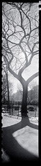 Tree, Thompkins Square Park (keithbgoldstein) Tags: city nyc shadow urban eastvillage newyork tree panoramic innercity thompkinssquarepark krasnogorsk kmzft2