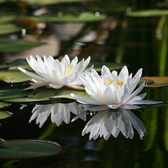 Water lilies (wendymerle) Tags: white reflection water waterlily waterlilies brook nymphaea hardy wbg nymphaeaceae