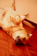 Xena (scott.brooks) Tags: dog pet xena rollover