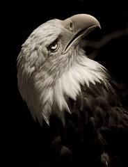 WTF? (taylorkoa22) Tags: portrait bw bird look animal animals zoo fly poser eyes nikon eagle feathers bald albuquerque raptor abq stare shocked naturesfinest marcgutierrez d80