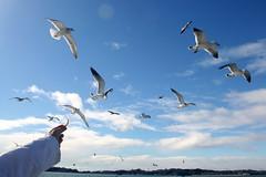 Seagull in Matsushima (machu.) Tags: sky bird sendai matsushima
