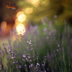 . (remography) Tags: sun color 50mm evening abend photo nikon foto lavender utata nikkor sonne farbe lavendel d700