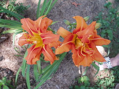 005 Summer Lilies blooming