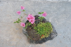Bougainvillea Bonsai (Xtolord) Tags: bougainvillea bonsai bougainvilleabonsai xtolord