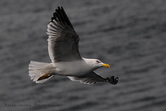 =S> (Yavuz Alper) Tags: birds flying moving wings nikon bokeh object seagull fast istanbul tur handheld vapur av slalom 2010 gezi bosporus gemi mart bogaz pazar kanat saryer d90 haftasonu vahi ilkbahar beykoz ahin atmaca ehir kartal belediye tacksharp mays netlik uu 70300vr canyucel gverin