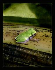 A tiny froggy... (cybershots (Subin Paul)) Tags: cute green frog toad tiny animalkingdomelite