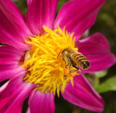 Kamakazie (aussiegall) Tags: dahlia flowers summer flower nature fleur animal fleurs garden insect fly wings bee abeille insecte apis apidae beehind