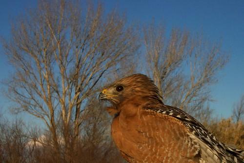 Red-shouldered Hawk, adult