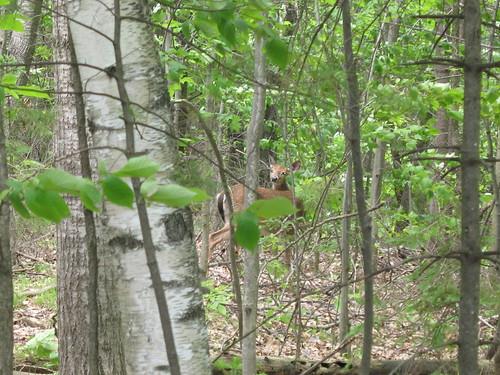 I see you deer