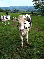 Dryslwyn Daisy. (M.R.7) Tags: grass wales cow carmarthenshire rivertowy mhr welshflickrcymru mikerees