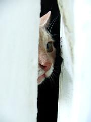 crisco (babette la praline) Tags: orange pet cute window animal cat chat kitty 100v10f peek coolest fentre outstandingshots cc300 cc100 outstandingshot bonzag kissablekat impressedbeauty aplusphoto cwcc