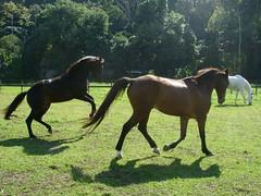 Haras 50 073 (mariarenatafranca) Tags: cavalos felizes