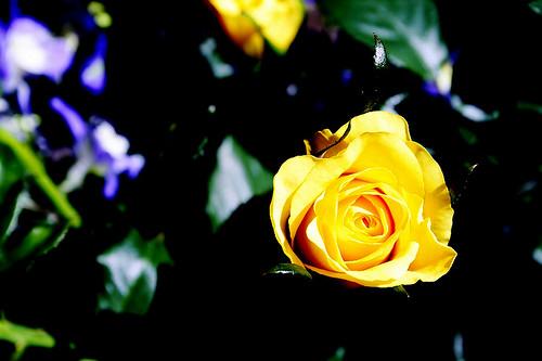 rose-YE
