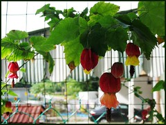 Abutilon megapotamicum / vexillarium (Flowering Maple, Chinese Lantern)