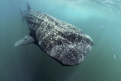 Whale Shark (ScottS101) Tags: ocean travel nature ilovenature shark marine wildlife scuba diving sharks baja whaleshark predator allrightsreserved seaofcortez marinelife ilovetheocean mardecortez solmarv anawesomeshot naturecruz mostbeautifulpicture copyrightscottsansenbach2008