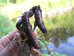 Crayfish gets his worm by Hiker Man Photography