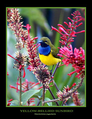 Sunbird (fotofantasea) Tags: flowers blue red plants black green bird nature animals yellow closeup fauna garden words flora photographer dof wildlife beak feather australia wallart photograph frame queensland cairns 89 sunbird specanimal sonya100 nectoriniajugularis animalkingdomelite wildlifeofaustralia colorphotoaward impressedbeauty superbmasterpiece avianexcellence birdsshowcase diamondclassphotographer avainexcellence auselite thatsclassy hollykempe