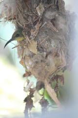 Sunbird 036 (lamcs52) Tags: singapore nest sunbird