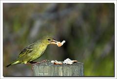 Cape Weaver - by ifijay