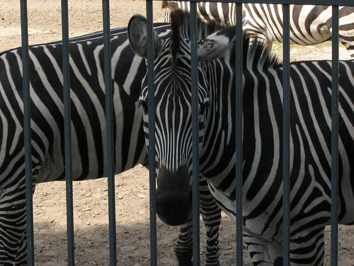 Kiev Zoo Zebra behind bars