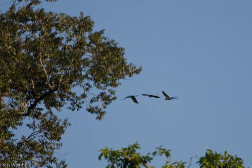 Amazon Mccaw Parrots