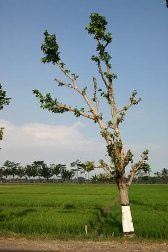 Rural Javanese landscape...