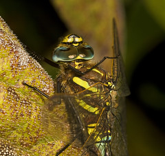 """Common Hawker Dragonfly (Aeshna junce(4) • <a style=""""font-size:0.8em;"""" href=""""http://www.flickr.com/photos/57024565@N00/1214891047/"""" target=""""_blank"""">View on Flickr</a>"""