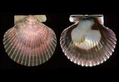 Argopecten purpuratus (Lamarck, 1819) - Peru' (giubit) Tags: shells peru seashells concha bivalvia conchas conchiglie conchiglia coquilles coquille schale naturelovers schalen cascara cascaras pectinidae argopectenpurpuratus conchadeabanico