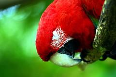 Sleeping Scarlet Macaw (floridapfe) Tags: sleeping bird beautiful birds animal zoo crazy colorful macaw sleepingbird everland scarletmacaw beautifulbird