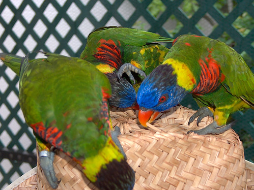 8zf-Lorikeets Eat Hat