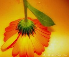 Orange Symphony  (Kelvin Wong (Away)) Tags: orange flower nature flora soft thankyou picasa romantic formyfriends superaplus aplusphoto kelvinwong piscesromance