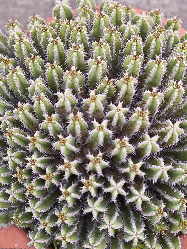 Cactus Bonita