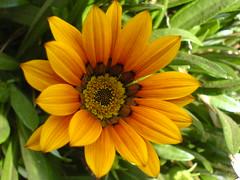 ooty - flower